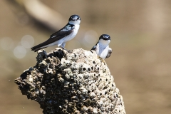a Blue and white swallow