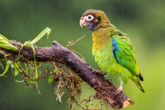 a Brown hooded parrot a