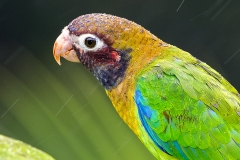 a Brown hooded parrot c