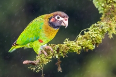 a Brown hooded parrot