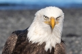 1c2 HP-Bald-Eagle-Portrait_87A6198