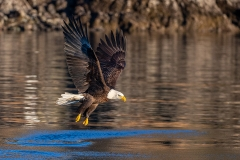 3c K2 HP-Bald-Eagle_1DX0015