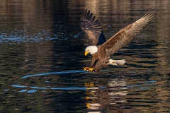 3b HP-Bald-Eagle_1DX0049