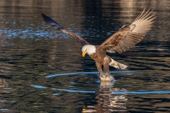 3d K4 HP-Bald-Eagle_1DX0050