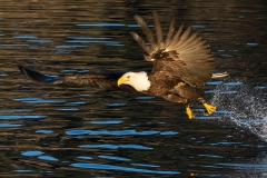 3f HP-Bald-Eagle_1DX0183