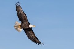 1c1 HP-Bald-Eagle_1DX3957