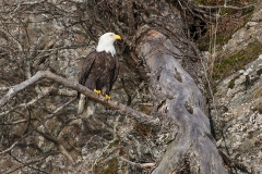 1e HP-Bald-Eagle_1DX4358