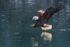 1l HP-Bald-Eagle_1DX4579