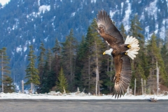 1i HP-Bald-Eagle_1DX5578