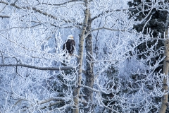 1a HP-Bald-Eagle_87A5063