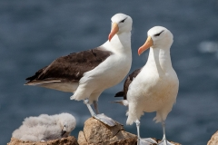 a2 Albatross-Colony_87A9001