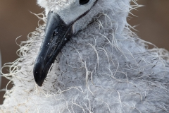 a3 Albatross-chick_87A9081