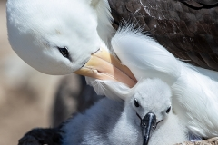 a8 Albatross-w-Chick_87A8155