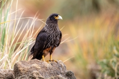 c1 Striated-Caracara
