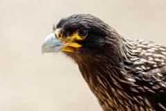 c2 Striated-Caracara_87A8279