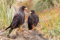 c3 Striated-Caracara_D9A0233