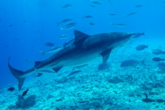 A41 Tigershark-Maledives-72dpi_DSC01115