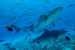 A92 Tigersharks-Maledives-72dpi_DSC01116