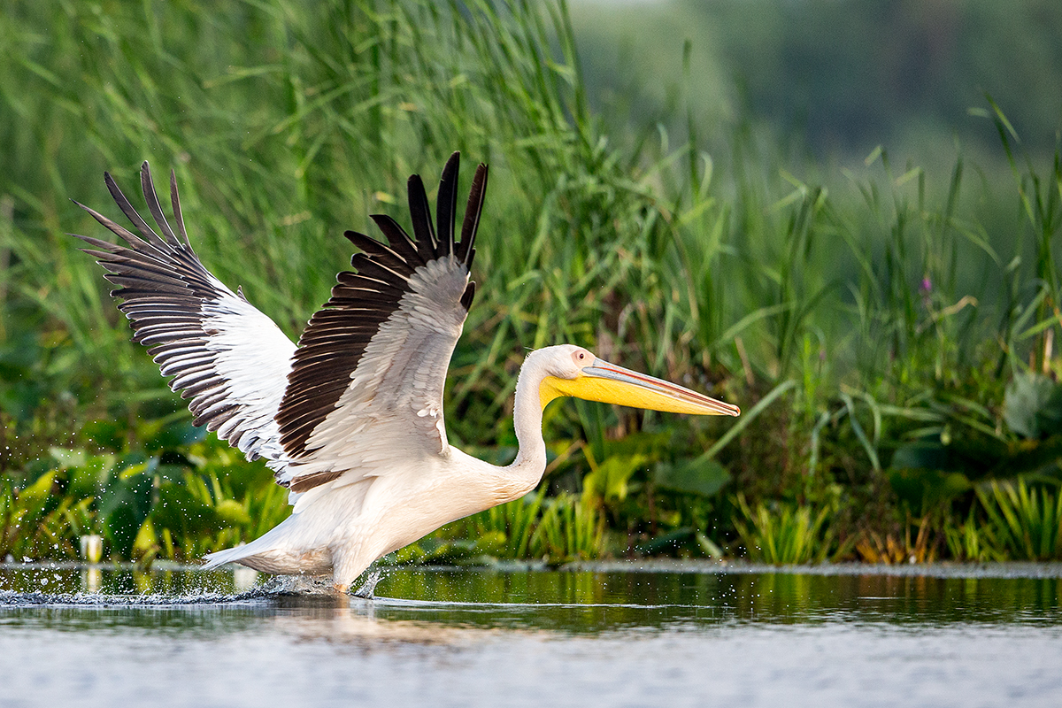 P41 Great white pelican_1DX0906