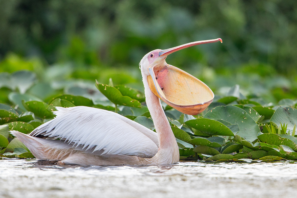 G5 Great white pelican_87a2069