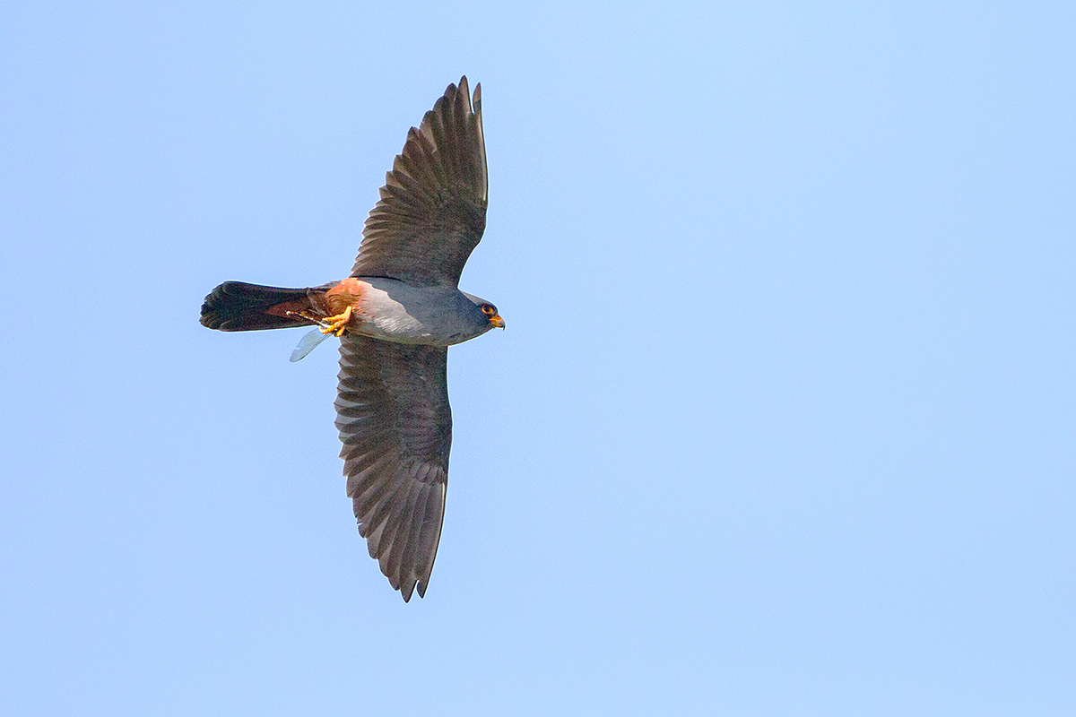 Q2 Red-footed falcon_1DX2054