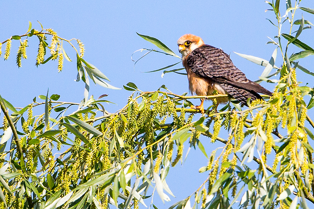 Q3 Red-footed falcon_1DX2065