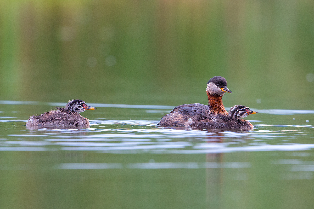 R5 Red-necked Grebe_1DX1499