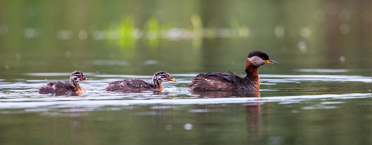 R4 Red-necked Grebe_1DX1504