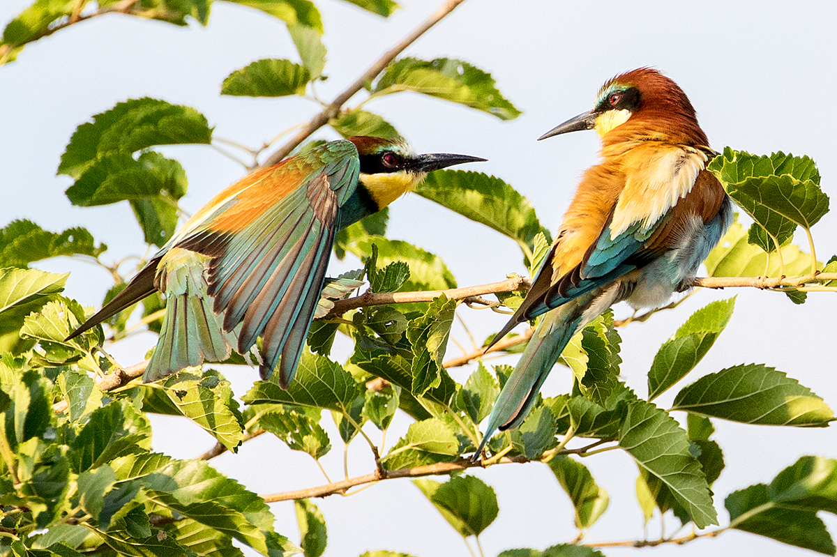 B8  Bee Eater_87a2594