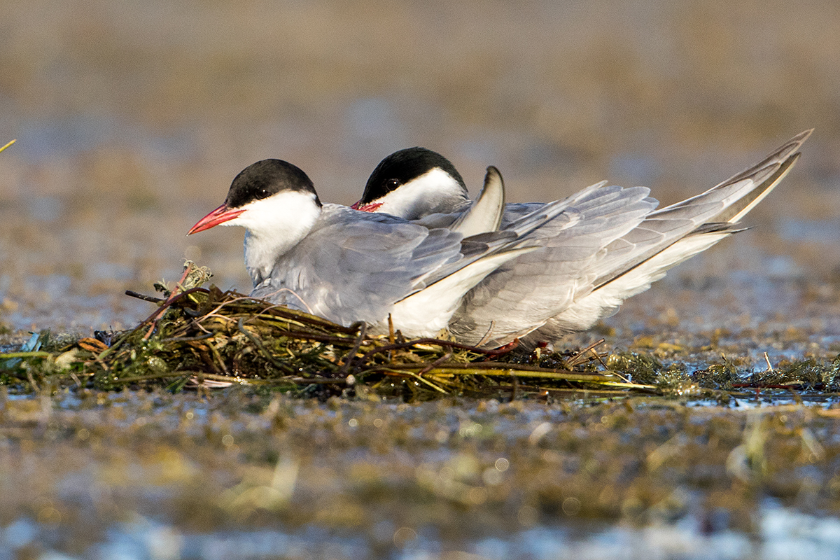 L1 Whiskered Tern_87a2352
