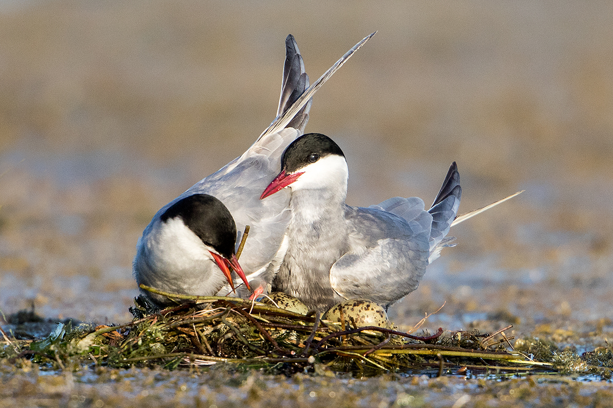 L4 Whiskered Tern_87a2359
