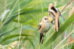A2  Bearded tit_87a3153
