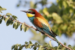 B4 Bee Eater_1DX2676