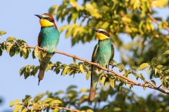B91 Bee Eater_87a2573