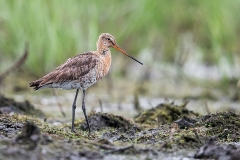 C1 Black-tailled Godwit_1DX1230