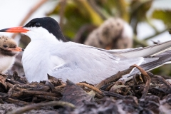 E2 Common Tern_87a1989
