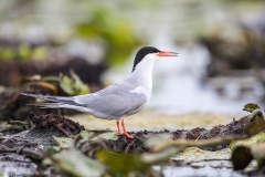 E4 Common Tern_87a1993