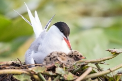 E1 Common Tern_87a2006