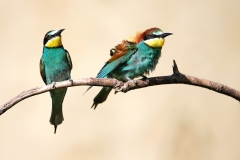 B2 European Bee-eater_1DX2451