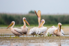 G2 Great white Pelican_1DX1589