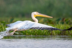 P42 Great white pelican_1DX0915