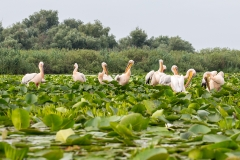 G1 Great white pelican_1DX1628