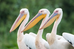 G6 Great white pelican_87a2066