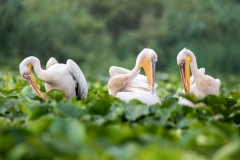 G7 Great white pelican_87a2075