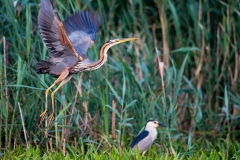 P8 Purple heron_1DX0806