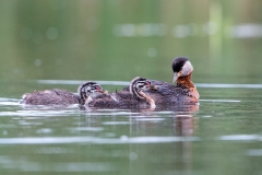 R2 Red-necked Grebe_1DX1501