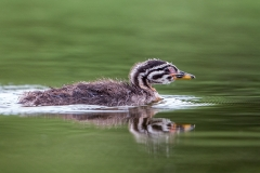 R3 Red-necked Grebe_1DX1550