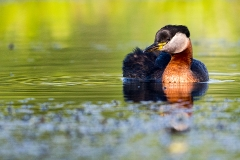 R99 Red necked grebe_1DX1106