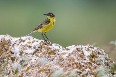 W51 Yellow wagtail_1DX2921