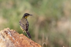 W6 Yellow wagtail_87A2816